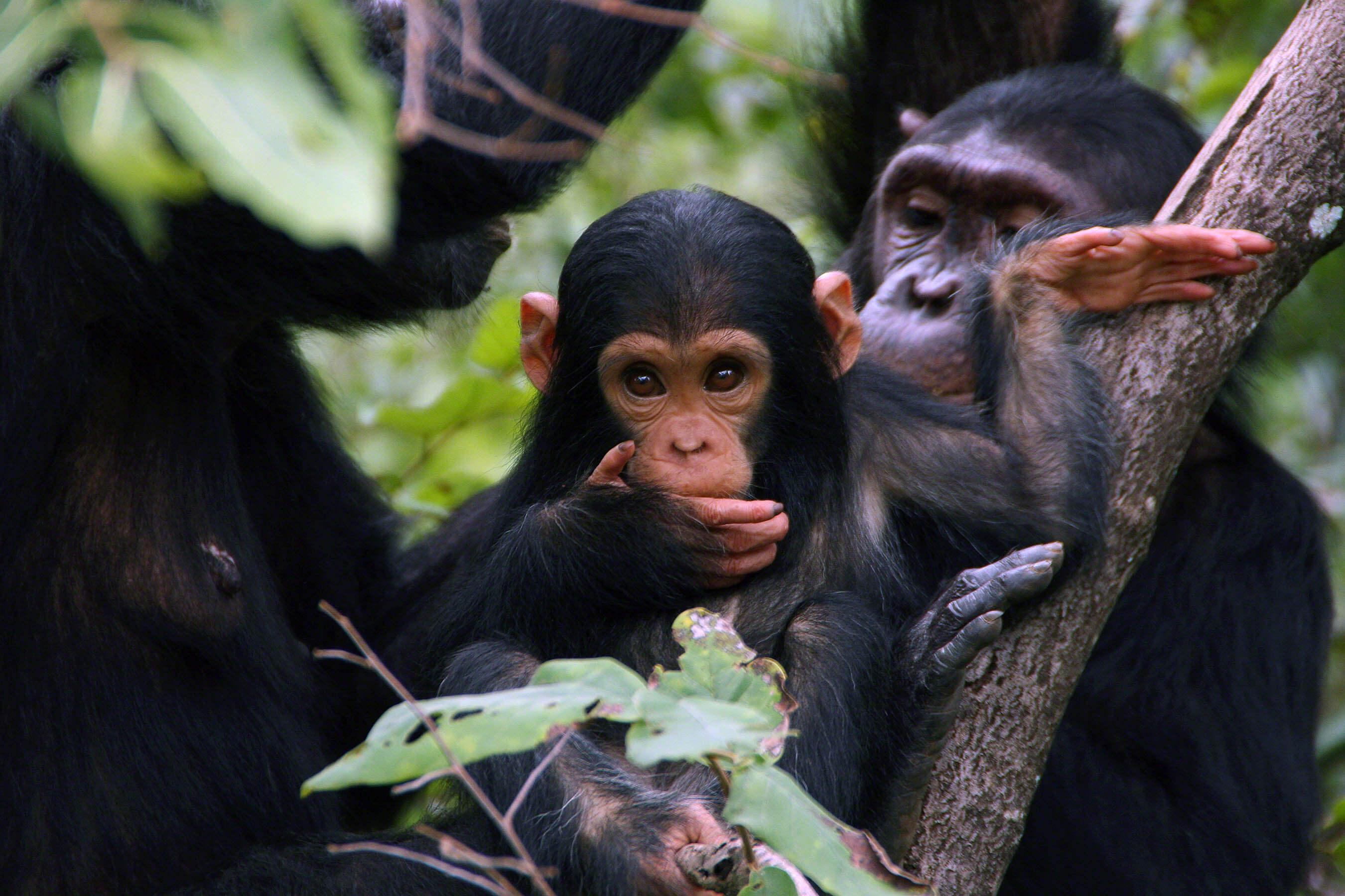Jane Goodall Institute, Chimpanzees, Gombe National Park